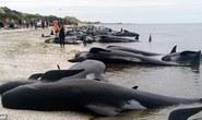 New Zealand: Hàng trăm cá voi gục chết ở tử địa