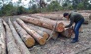 Hạ rừng thông 20 năm tuổi để trồng mắc ca