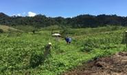 Hàng ngàn cây chanh leo bị chặt phá trong đêm