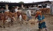 Ấn Độ tranh cãi về luật hạn chế bán trâu, bò
