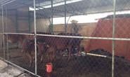Bắt giam 30 con bò nghênh ngang trên quốc lộ
