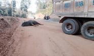 Bò tót quý hiếm lao đầu vào xe tải chết tại chỗ?