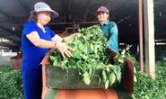 Mang chè Việt ra thế giới