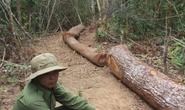 Cán bộ quản lý rừng dựng chuyện bị cướp gỗ