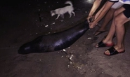 Hải cẩu ở biển Tuy Phong chết nghi do bị sát hại