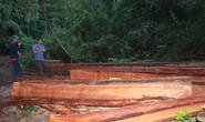 Cận cảnh công trường khai thác gỗ lậu khủng ở Đắk Lắk