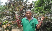 Thăm vườn nhãn tím độc lạ ở Sóc Trăng