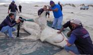 Kinh dị cá voi sát thủ moi gan cá mập trắng