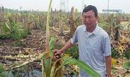 Giám đốc thuê dọn dẹp, 2.000 cây chuối bị côn đồ triệt hạ