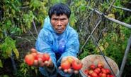 Cà chua tại vườn rẻ như cho, ra chợ đắt gấp 10