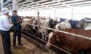 'Vua chuối' kiếm triệu đô nhờ vỗ béo bò Úc