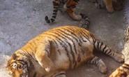 Trung Quốc: Bi hài hổ béo phì sau Tết