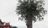 Chuyện hồi sinh của cụ dầu 300 tuổi ở Ba Chúc