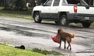 Chú chó biểu tượng cho sức mạnh Texas trong bão Harvey