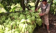 Giá chuối 1.000 đồng/kg, dân chán nản không muốn thu hoạch