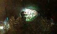 Hổ xổng chuồng gây náo loạn đường phố Paris