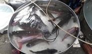 Sau Tết, 1,5 triệu đồng một con cá chép vẫn cháy hàng