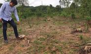 Tìm ra thủ phạm chặt rừng thông đặc dụng tại Huế