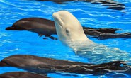 Cá voi có thể… học ngoại ngữ