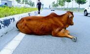 Vụ con bò biến mất: Đã bán hay tiêu hủy?