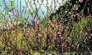 Lạc vào thủ phủ hoa mận, hoa đào bung nở ở độ cao 1500m