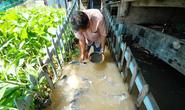 Kỳ lạ lão nông miền Tây dẫn dụ đàn cá tra khủng về cặp mé sông