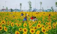 [VIDEO] - Nườm nượp đi xem cánh đồng hoa hướng dương ven sông Sài Gòn