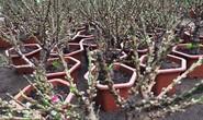 Đào thất thốn Trung Quốc đại náo thị trường cây cảnh