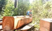 Lợi dụng Tết, lâm tặc phá rừng giáp ranh