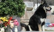 Chó ngủ cạnh mộ chủ suốt 11 năm cho đến chết