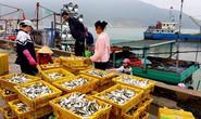 Ngư dân phấn khích trúng đậm lộc biển 4-5 tấn cá mỗi tàu