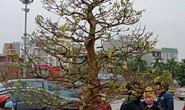 """Cây mai """"khủng"""" được đại gia Ninh Bình mua giá 180 triệu đồng"""