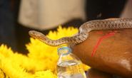 Rắn thần tại Quảng Bình chỉ là... rắn nước, tránh mê tín dị đoan