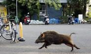 Nhật: Dân già hóa, heo rừng sinh sôi quá đà