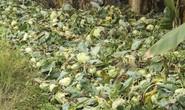Nông dân ngậm ngùi phá bỏ su hào vì không bán được