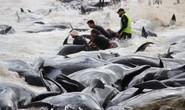 Úc: Hơn 100 con cá voi mắc cạn, phơi xác trên bãi biển