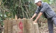 Quảng Nam: Khởi tố vụ phá rừng phòng hộ sông Kôn
