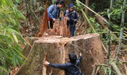 Thảm sát rừng lim cổ thụ