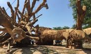 Cận cảnh 3 cây quái thú bị CSGT Thừa Thiên- Huế bắt giữ