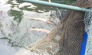 Cá, mực trong bè nổi ở khu vực cảng Vũng Áng chết bất thường