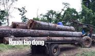 Kiểm lâm kiểm tra thường xuyên nhưng không thấy gỗ lậu của trùm Phượng râu!?