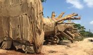 Phó Thủ tướng yêu cầu làm rõ vụ chở cây quái thú