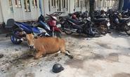 Công an huyện Phú Quốc tạm giam... 2 con bò