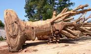 Vụ vận chuyển cây quái thú: Chủ cây nhớ đường vào nơi khai thác