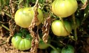 Nghề trồng cà chua cắm rễ trên cát trắng