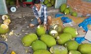 Ồ ạt trồng mít Thái siêu sớm: Cẩn trọng bài học cam sành