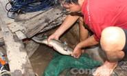 Quái kiệt săn cá ngát trên sông Hàm Luông