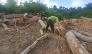 Ngang nhiên đưa máy múc vào phá rừng, sau nhiều ngày kiểm lâm mới biết
