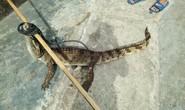 CLIP Người dân truy bắt cá sấu sổng chuồng giữa đồng
