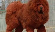 Chó cắn chết người, chủ nuôi có thể bị phạt tù tới 5 năm